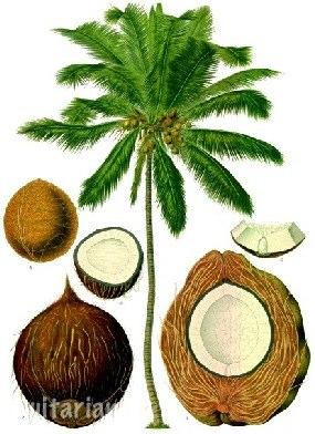 Что из себя представляют кокосы