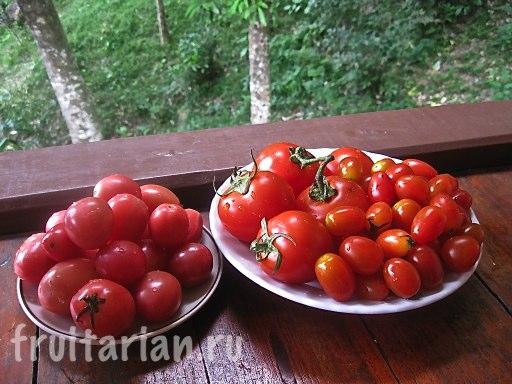 тайские помидоры