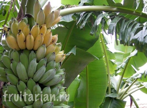 Бананы растущие