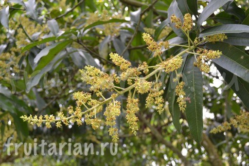 манго цветет