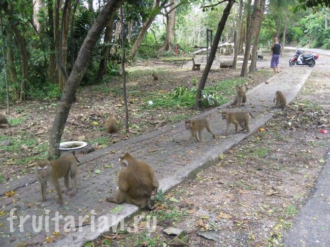 Обезьяны в Monkey Hill in Phuket-Town