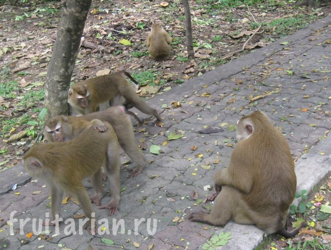 Обезьяны в Monkey Hill