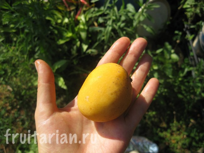 манго с дерева
