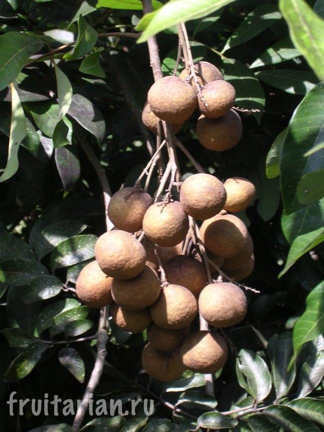 Лонган дерево