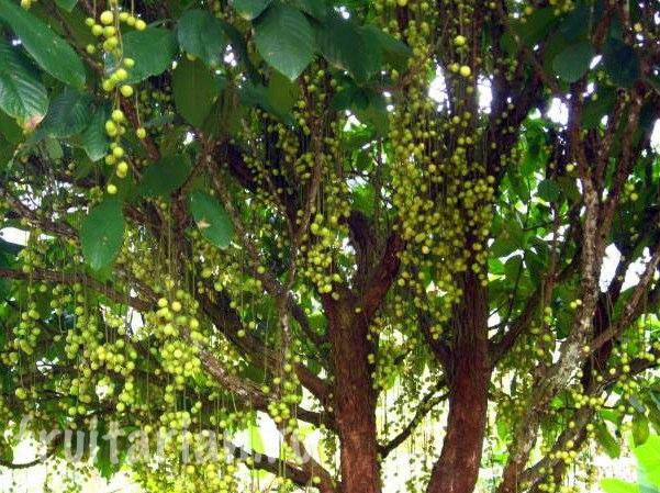 Дерево фрукта мафаи
