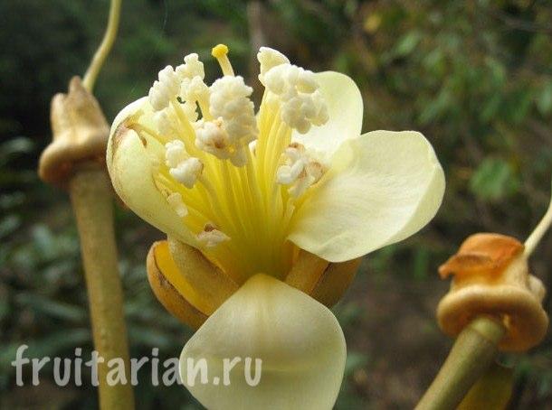 Цветущее дуриановое дерево