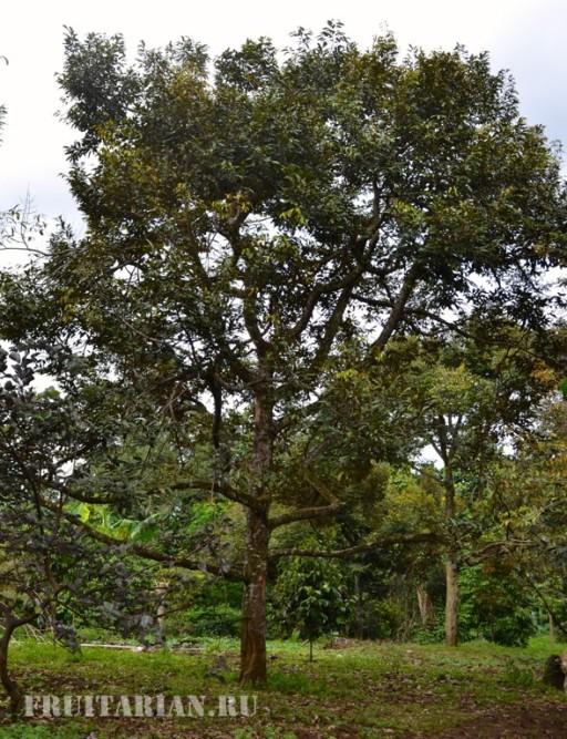 kak-rastet-durian