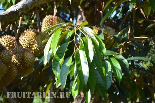 kak-rastet-durian3