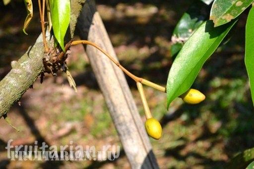 kak-rastet-durian4