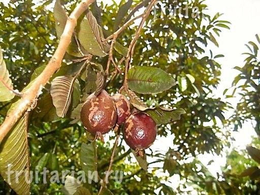 kak-rastet-guava2