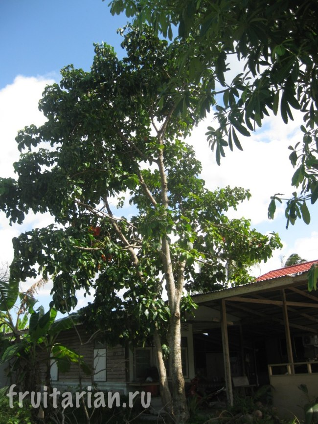 сантол дерево