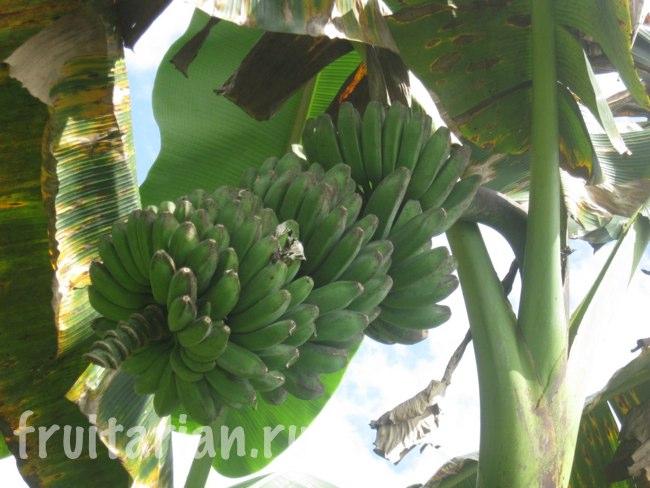 треугольные бананы