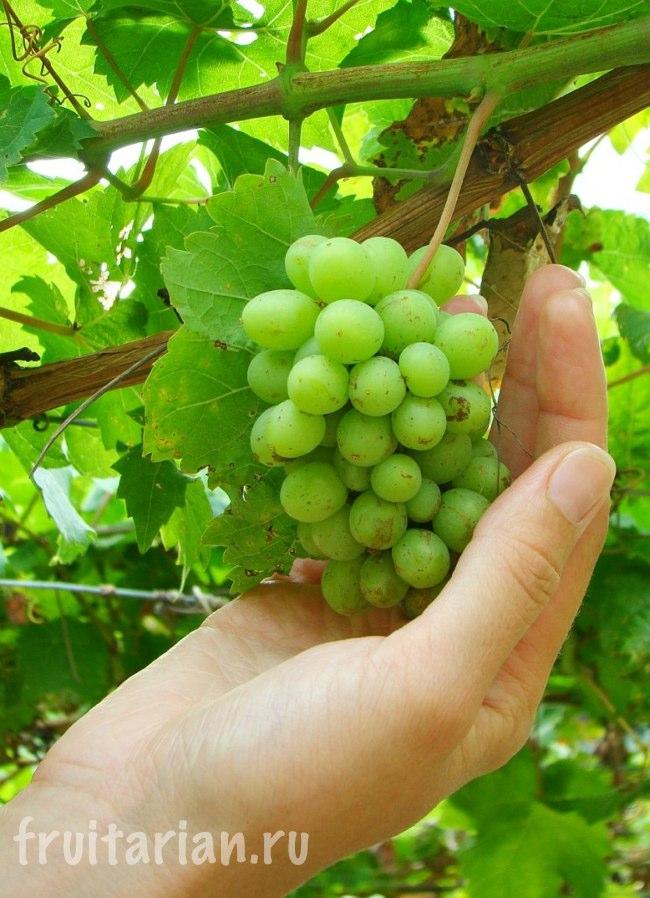 виноград Таиланд