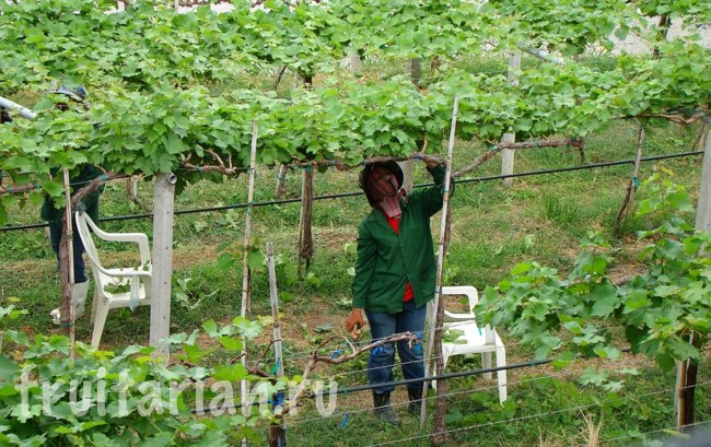 виноградники Таиланда