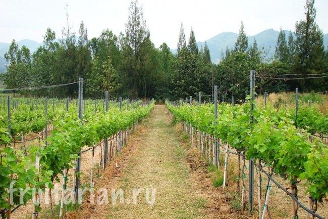 виноград в Таиланде