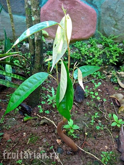 grow_durian_seed_03