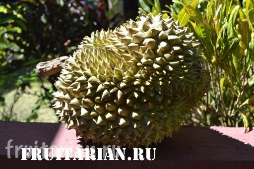 soriano-durian