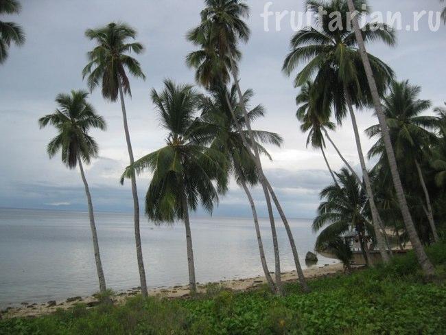 высокие кокосовые пальмы