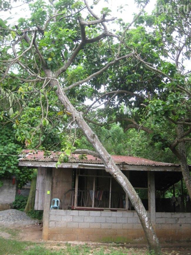 Деревья авокадо