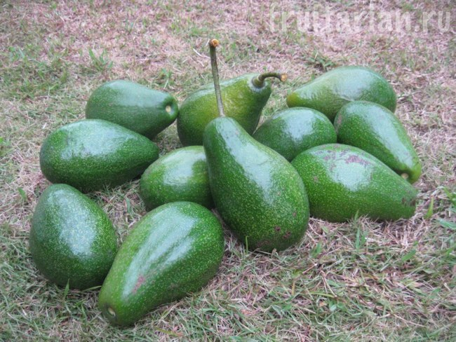 авокадо с дерева