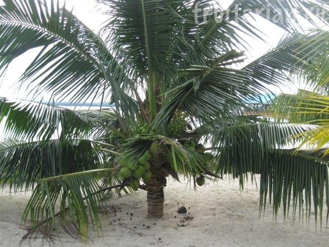 низкая кокосовая пальма