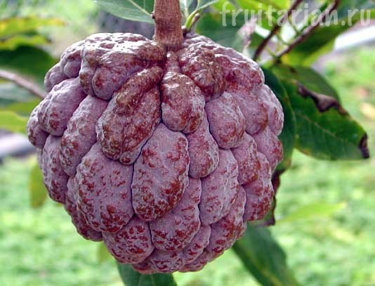 Фиолетовые сахарные яблоки