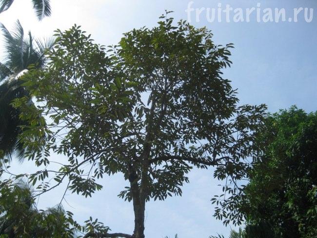 Дуриановое дерево