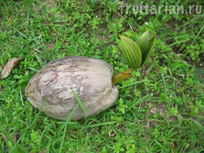 как прорастает кокос