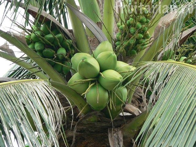 молодая кокосовая пальма