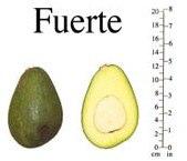 авокадо фуэрте
