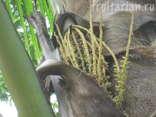цветы кокосовой пальмы