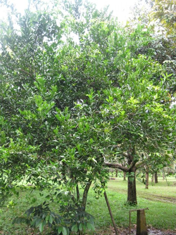 танжериновое дерево