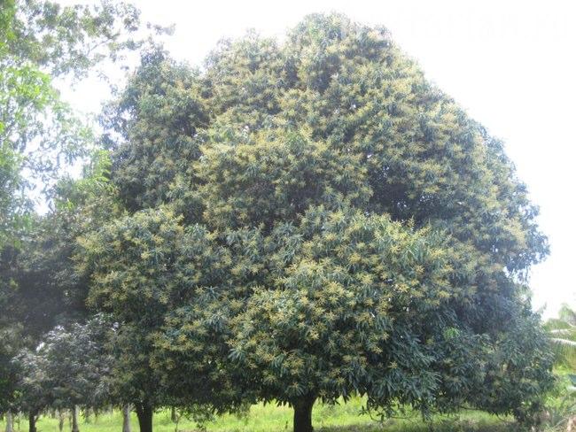манго цветёт