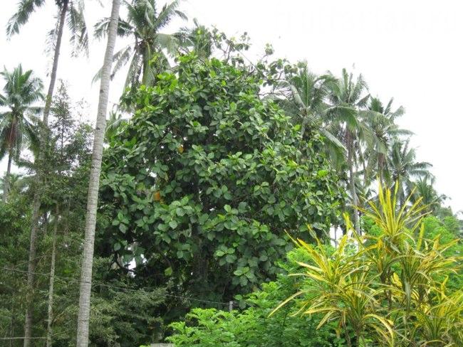 дерево маранга