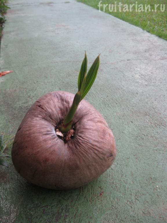 проросший кокос