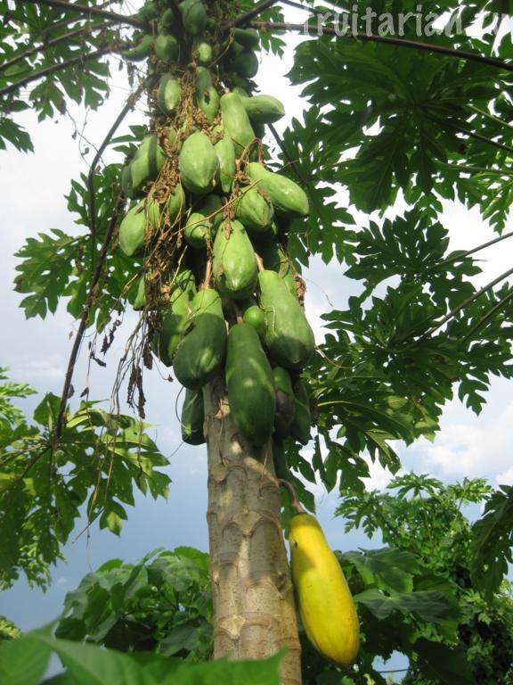 папайя на Филиппинах