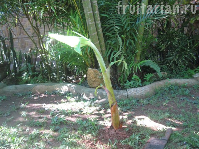 банан растёт