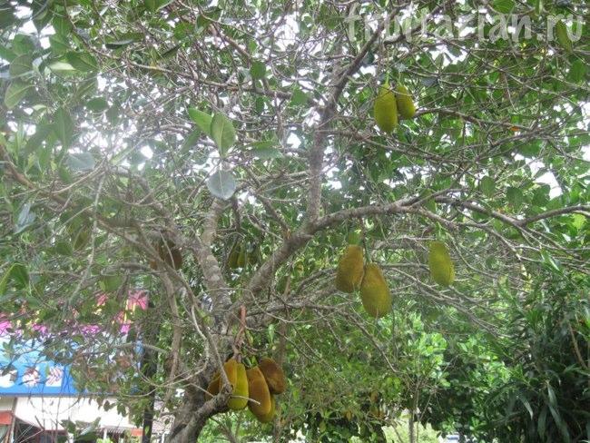 дерево джекфрута