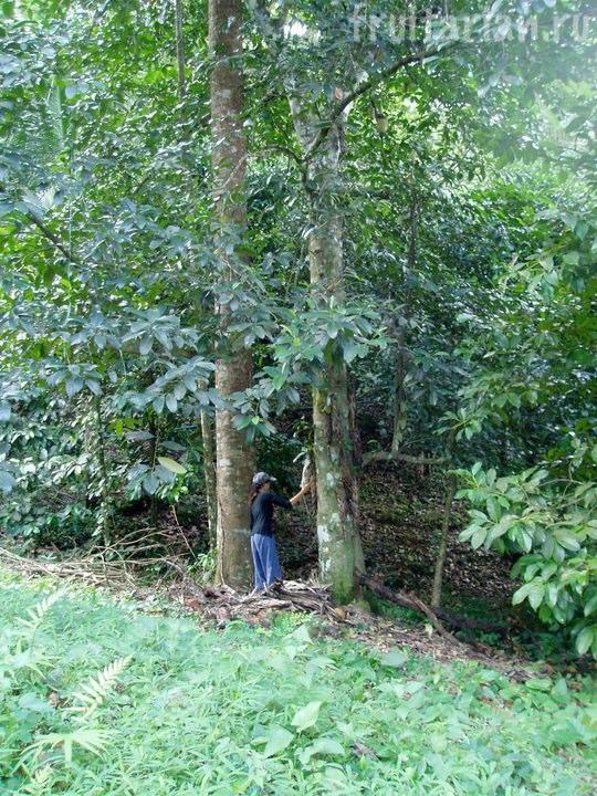 чемпедак дерево
