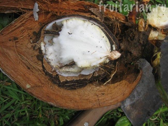 проросток кокоса
