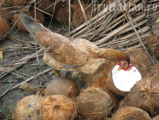 курица ест кокос