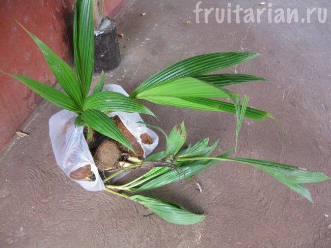 проросшие кокосы