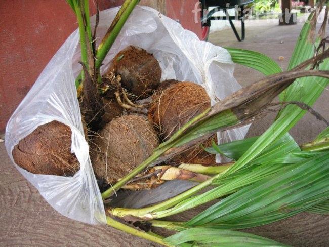 проростки кокосов