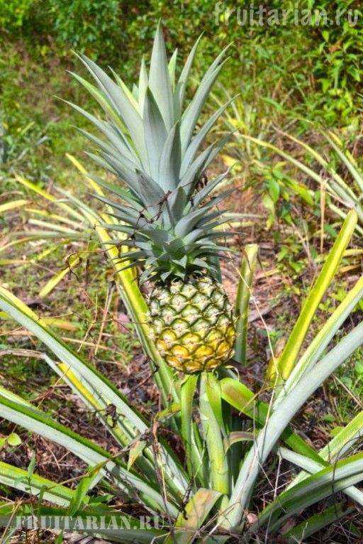 kak-rastet-ananas-04