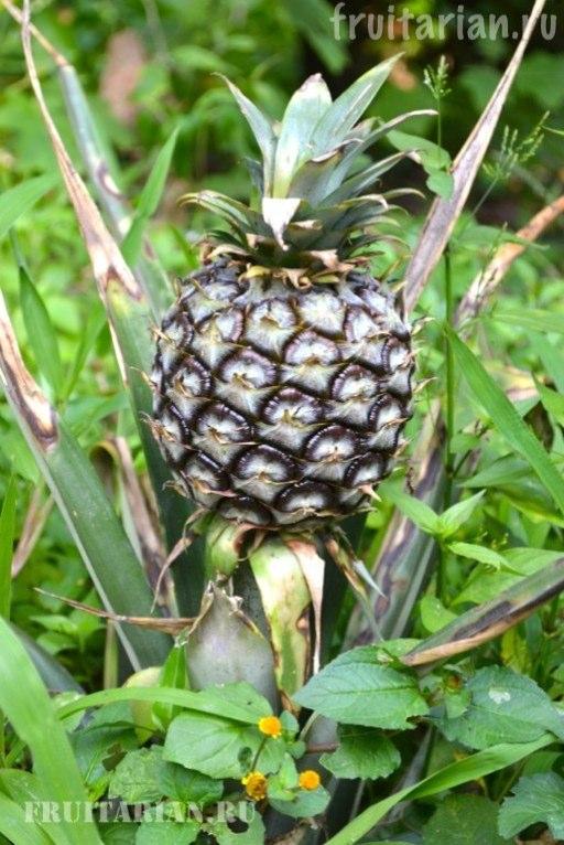 kak-rastet-ananas-09