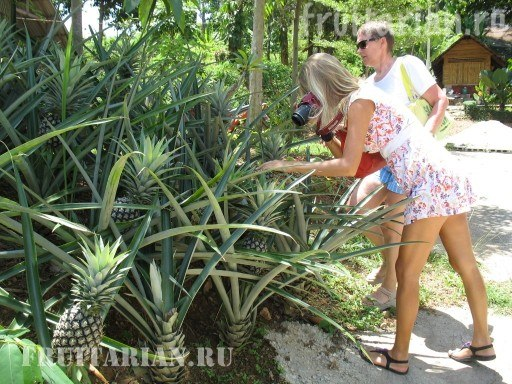 kak-rastet-ananas-10