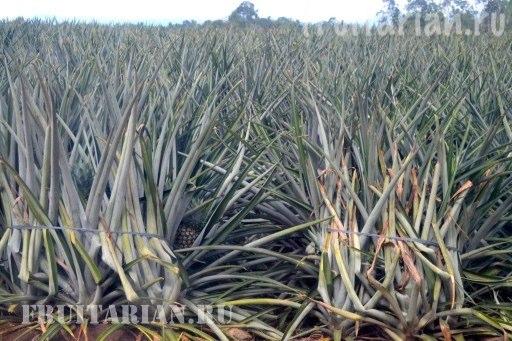kak-rastet-ananas