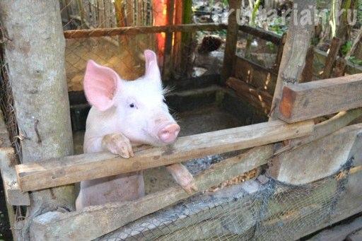 свинюшка