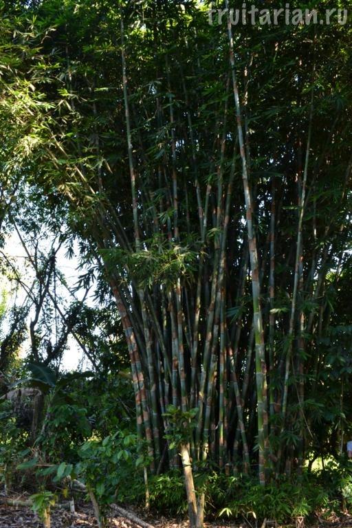 бамбука