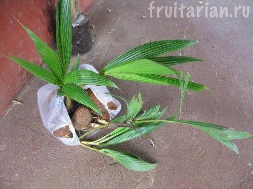 Как вырастить кокос